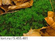 Купить «Мох сфагнум с осенними листьями», фото № 5455481, снято 27 октября 2013 г. (c) LightLada / Фотобанк Лори