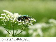 Купить «Зеленый блестящий жук на белых цветах (Золотистая бронзовка, Cetonia aurata)», эксклюзивное фото № 5466393, снято 16 июня 2013 г. (c) Щеголева Ольга / Фотобанк Лори