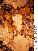 Купить «Дубовые осенние листья», фото № 5466897, снято 16 августа 2018 г. (c) Светлана Мамонтова / Фотобанк Лори
