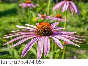 Эхинацея в саду. Стоковое фото, фотограф Дмитрий / Фотобанк Лори