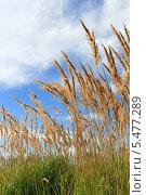 Купить «Сухие метелки травы в поле на фоне голубого неба с облаками», фото № 5477289, снято 18 августа 2012 г. (c) Анна Павлова / Фотобанк Лори