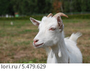 Купить «Домашняя коза крупно (лат. Capra aegagrus hircus)», эксклюзивное фото № 5479629, снято 20 августа 2011 г. (c) lana1501 / Фотобанк Лори
