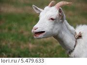 Купить «Домашняя коза с открытым ртом (лат. Capra aegagrus hircus)», эксклюзивное фото № 5479633, снято 20 августа 2011 г. (c) lana1501 / Фотобанк Лори