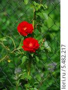 Купить «Кроваво-красная плетистая, вьющаяся роза (лат. Rosa) в солнечный летний день», эксклюзивное фото № 5482217, снято 15 июля 2009 г. (c) lana1501 / Фотобанк Лори