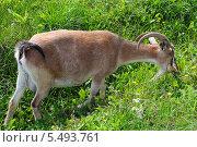 Купить «Коза щиплет травку», фото № 5493761, снято 22 августа 2013 г. (c) Александр Тараканов / Фотобанк Лори