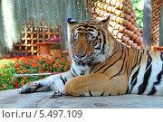 Купить «Дремлющий тигр. Тропический парк Нонг Нуч (англ. Nong Nooch Tropical Garden)», фото № 5497109, снято 27 декабря 2013 г. (c) Григорий Писоцкий / Фотобанк Лори