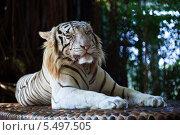 Белый тигр лежит и жмурится на камне. Стоковое фото, фотограф Александр Жильцов / Фотобанк Лори