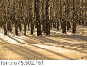 Длинные зимние тени в берёзовой роще. Стоковое фото, фотограф Вячеслав Сапрыкин / Фотобанк Лори