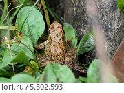 Лягушка в листьях. Стоковое фото, фотограф Мельникова Софья / Фотобанк Лори