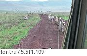 Купить «Полосатые зебры в природе. Национальный парк Серенгети, Танзания, Африка», видеоролик № 5511109, снято 11 января 2014 г. (c) Кекяляйнен Андрей / Фотобанк Лори