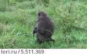 Купить «Взрослый павиан сидит в траве, Танзания, Африка», видеоролик № 5511369, снято 11 января 2014 г. (c) Кекяляйнен Андрей / Фотобанк Лори
