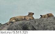 Купить «Несколько львиц отдыхают на скале. Национальный парк Серенгети, Танзания, Африка», видеоролик № 5511721, снято 10 января 2014 г. (c) Кекяляйнен Андрей / Фотобанк Лори