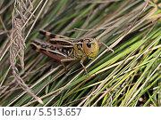Кузнечик в траве. Стоковое фото, фотограф Александр Мосеев / Фотобанк Лори