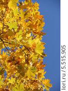 Золотая осень. Кленовые листья на фоне голубого неба. Стоковое фото, фотограф Алексеева Оксана / Фотобанк Лори