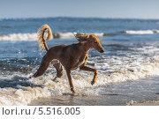 Купить «Салюки (персидская борзая) на море», фото № 5516005, снято 3 августа 2013 г. (c) Артём Сапегин / Фотобанк Лори