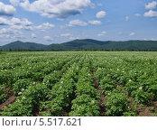 Купить «Поле цветущего картофеля под облачным небом», фото № 5517621, снято 15 июля 2012 г. (c) Олег Рубик / Фотобанк Лори