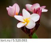 Купить «Плюмерия, цветы крупным планом», фото № 5520093, снято 22 февраля 2013 г. (c) Юлия Бабкина / Фотобанк Лори