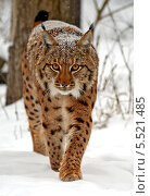 Купить «Дикая рысь идет по снегу в зимнем лесу», фото № 5521485, снято 22 января 2014 г. (c) Эдуард Кислинский / Фотобанк Лори