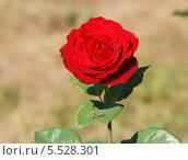Купить «Красивая красная роза (лат. Rosa)», эксклюзивное фото № 5528301, снято 17 июля 2010 г. (c) lana1501 / Фотобанк Лори