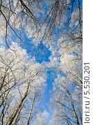 Купить «Покрытые инеем деревья на фоне голубого безоблачного неба, вид снизу», фото № 5530201, снято 24 января 2014 г. (c) Игорь Соколов / Фотобанк Лори