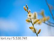 Весенняя верба в солнечный день. Стоковое фото, фотограф Татьяна Кахилл / Фотобанк Лори