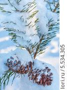 Купить «Хвойные шишки в снегу», фото № 5534305, снято 30 января 2014 г. (c) Икан Леонид / Фотобанк Лори