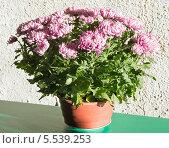 Купить «Розовые кустовые хризантемы в горшке», фото № 5539253, снято 5 сентября 2013 г. (c) Юрий Брыкайло / Фотобанк Лори