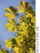 Листья каштана на фоне голубого неба осенью. Стоковое фото, фотограф Алексеева Оксана / Фотобанк Лори