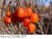 Купить «Подмороженные кисти ягод калины», фото № 5545377, снято 19 августа 2018 г. (c) Иван Федоренко / Фотобанк Лори
