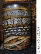 Купить «Змеи консервированные в  банках», фото № 5552357, снято 16 января 2014 г. (c) макаров виктор / Фотобанк Лори