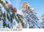 Купить «Заснеженная хвойная ветка с шишками», фото № 5558201, снято 30 января 2014 г. (c) Икан Леонид / Фотобанк Лори