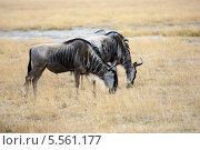 Купить «Антилопы гну на пастбище в Кении», фото № 5561177, снято 24 августа 2010 г. (c) Знаменский Олег / Фотобанк Лори