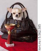 Собачка в сумке (2014 год). Редакционное фото, фотограф Андрей Павлов / Фотобанк Лори
