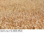 Поле пшеницы. Стоковое фото, фотограф Tanya Lomakivska / Фотобанк Лори