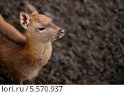 Самка оленя. Стоковое фото, фотограф Татьяна Четвертакова / Фотобанк Лори