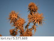 Золотистый репейник на фоне голубого неба. Стоковое фото, фотограф Инна Багаева / Фотобанк Лори