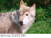 Купить «Волка», фото № 5573741, снято 18 августа 2010 г. (c) Алексей Попов / Фотобанк Лори