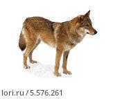 Купить «Волчица на белом фоне», фото № 5576261, снято 11 февраля 2014 г. (c) Наталья Волкова / Фотобанк Лори