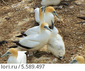 Северная, или обыкновенная олуша (лат. Morus bassanus). Птенец с родителями (2011 год). Стоковое фото, фотограф Galina Vydryakova / Фотобанк Лори