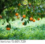 Купить «Апельсиновое дерево с плодами», фото № 5601729, снято 5 февраля 2014 г. (c) Ирина Денисова / Фотобанк Лори