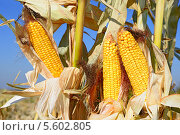 Купить «Спелая кукуруза», фото № 5602805, снято 8 октября 2013 г. (c) Швадчак Василий / Фотобанк Лори