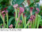 Купить «Насекомоядное растение саррацения», фото № 5612769, снято 21 февраля 2014 г. (c) Наталья Волкова / Фотобанк Лори