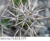 Купить «Колючки кактуса макро», фото № 5613177, снято 21 февраля 2014 г. (c) Наталья Волкова / Фотобанк Лори