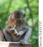 Обезьяна в Таиланде ест булку. Стоковое фото, фотограф Ольга Язовских / Фотобанк Лори