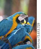 Синий попугай сидит на жердочке в Таиланде (2011 год). Стоковое фото, фотограф Ольга Язовских / Фотобанк Лори