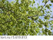 Купить «Плоды вяза гладкого, или ильма (Ulmus) весной», фото № 5619813, снято 5 мая 2012 г. (c) Алёшина Оксана / Фотобанк Лори