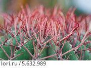 Купить «Колючки кактуса макро», фото № 5632989, снято 21 февраля 2014 г. (c) Наталья Волкова / Фотобанк Лори