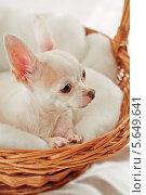 Купить «Белый Чихуа-хуа сидит в плетеной корзине на мягкой подстилке», фото № 5649641, снято 23 августа 2012 г. (c) Losevsky Pavel / Фотобанк Лори