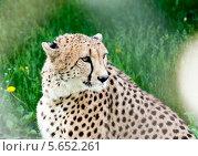 Купить «Леопард на фоне зеленой травы», фото № 5652261, снято 27 мая 2011 г. (c) Володина Ольга / Фотобанк Лори