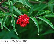 Купить «Бузина красная (лат. Sambucus racemosa)», эксклюзивное фото № 5658981, снято 15 июля 2009 г. (c) lana1501 / Фотобанк Лори
